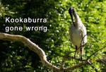 Kookaburra Gone Wrong.