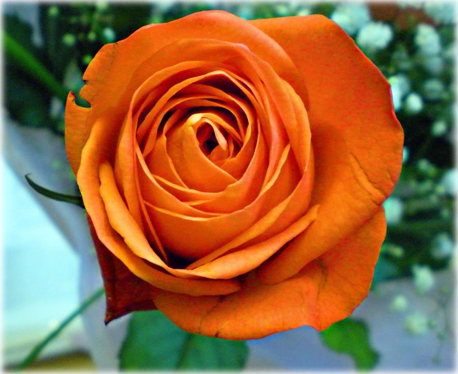 Peach rose by DanaAnderson