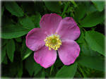 Wild Rose for Russ