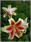 Lilies for Jocelyne