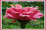 Pink zinnia for Juno