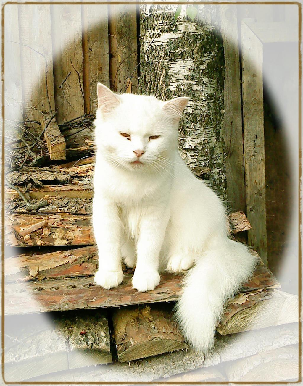 White Kitty by DanaAnderson