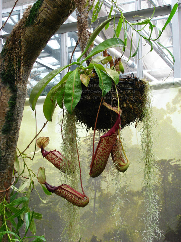 Hanging Pitcher Plant Care Hanging Pitcher Plant Hanging