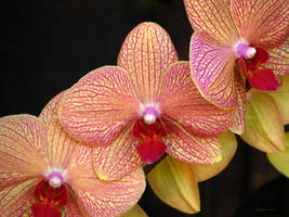 funky phalenopsis - magenta and yellow by Foozma73