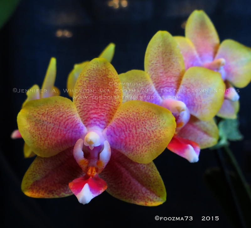 Orchid Show 2015 no.19 by Foozma73