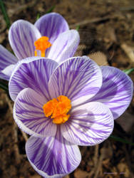 pickwick crocus - 2 o'clock by Foozma73