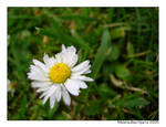 daisy. 1