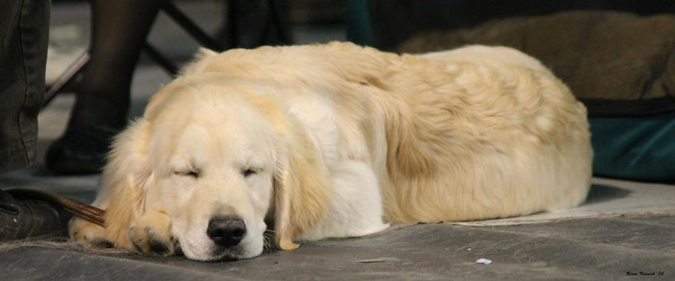 Golden retriever sleeping :) by pastaccas
