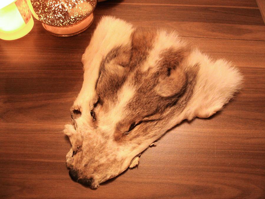 Piebald coyote
