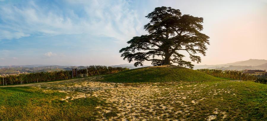 Il cedro del Libano by Francy-93
