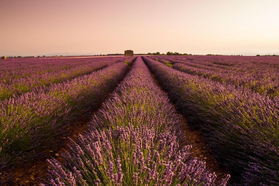 Lavender by Francy-93