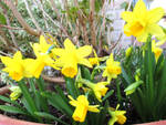 Happy Easter Daffodils! by ToveAnita