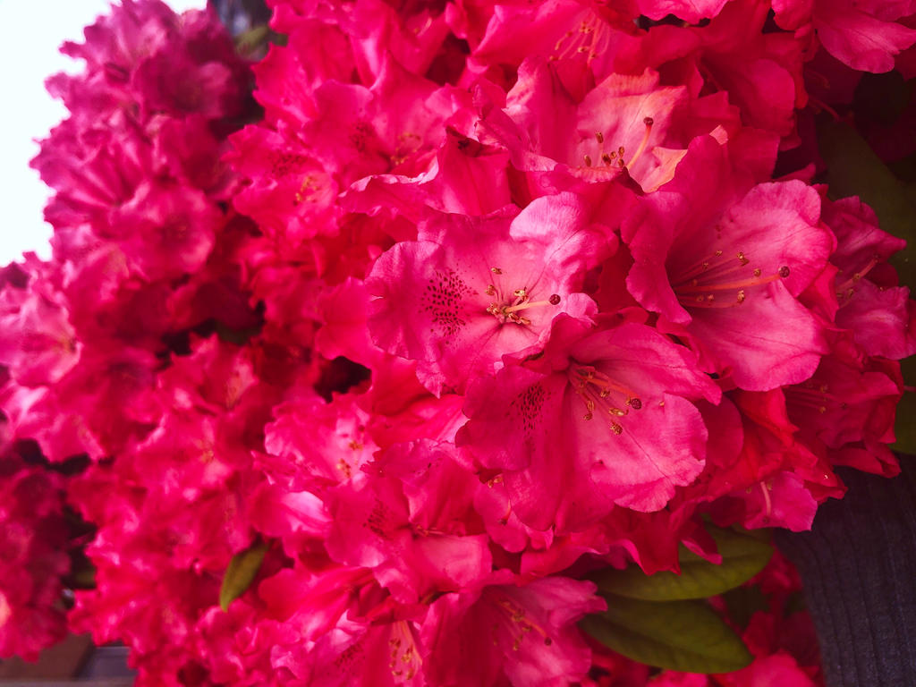 Bright Pink Rhododendron 2