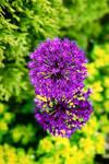 Purple Perfection - 2