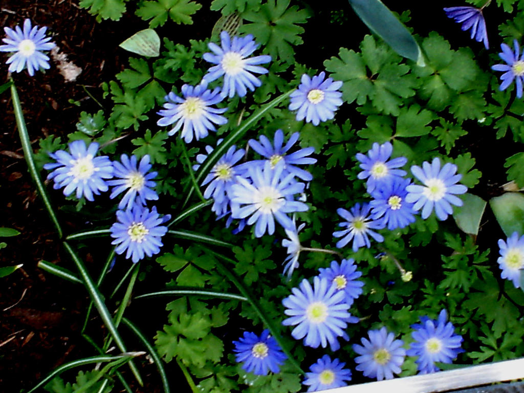 Blue spring flowers by snoogaloo on deviantart blue spring flowers by snoogaloo dhlflorist Choice Image