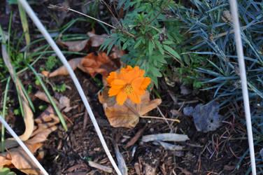 Lonely orange flower