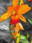Orange Orchid Drop