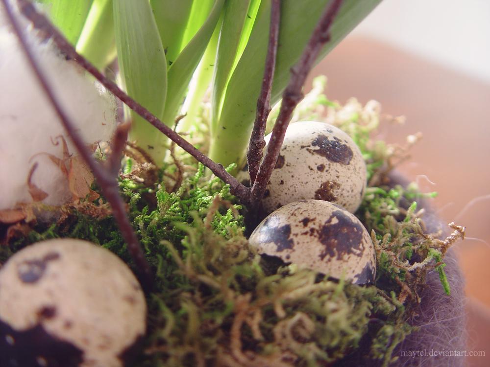 quail eggs by maytel