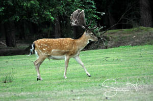 fallow deer by Seramose