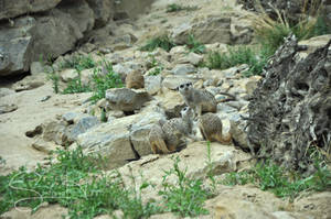 Meercat family by Seramose