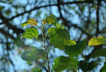 Leaves Above