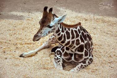 Baby Giraffe by Seramose