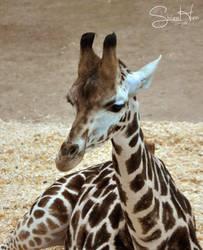 Baby Giraffe 2 by Seramose