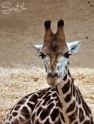 Baby Giraffe 3 by Seramose