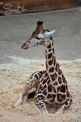Baby Giraffe 4 by Seramose