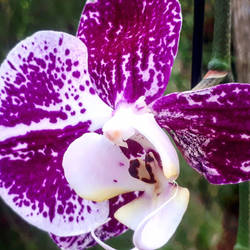 Orchid  Photo by BluedarkArt by Bluedarkat
