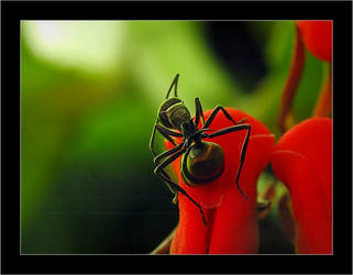 Acrobatic Ant by patul