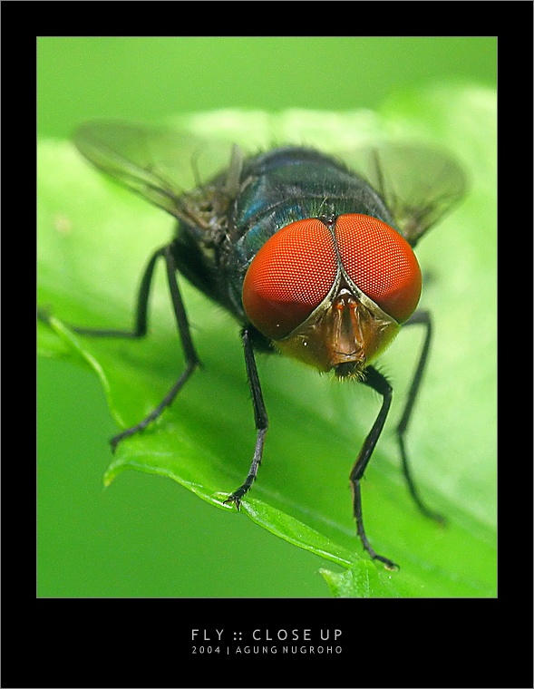 Fly :: Close Up by patul
