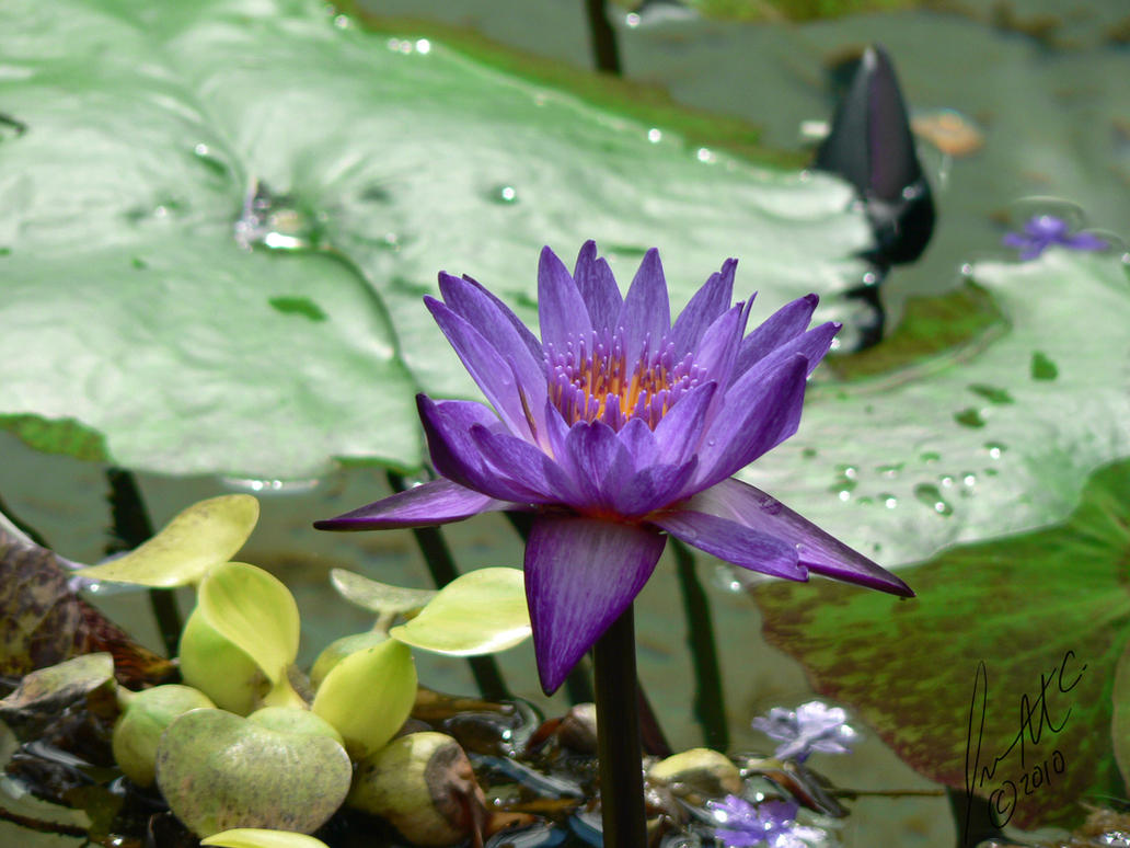 Purple lotus flower by sybaristail on deviantart purple lotus flower by sybaristail izmirmasajfo