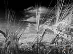 Wheat of the Field
