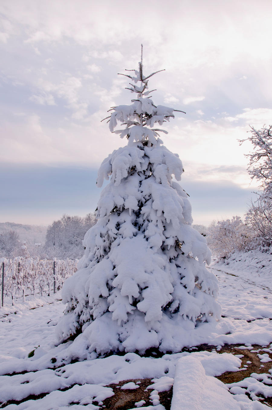 snow covered christmas tree by marlene-stock
