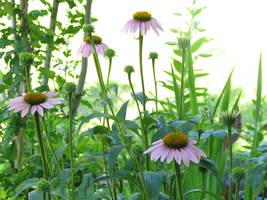 Summer Echinacea by gentlegenius