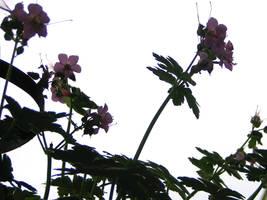 Geranium Silhouettes by gentlegenius
