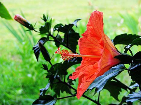 Hibiscus Sensation 2