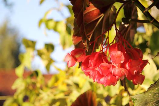 Begonia Blossoms