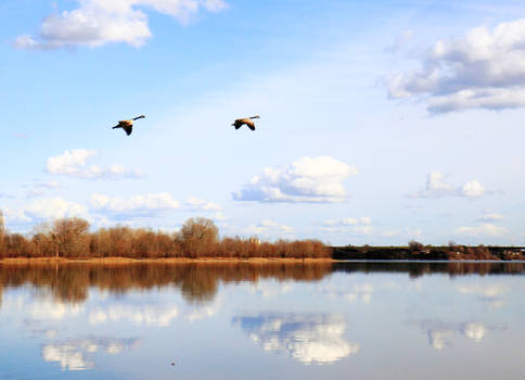 Geese over the river