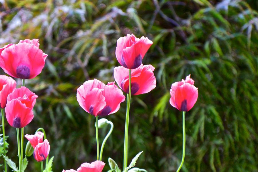 Pink Poppies by gentlegenius