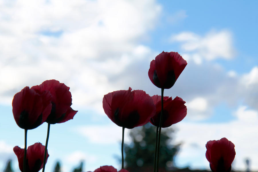 Pink Poppies 2 by gentlegenius