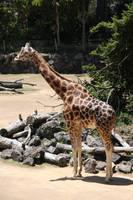 Giraffestock by Ameliorator