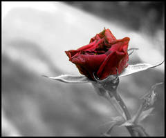 A withered red rose by no1particular