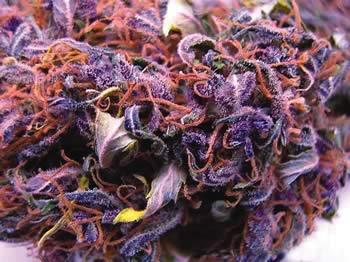 Black Russian Indica Marijuana by IamCAINEandYOUare