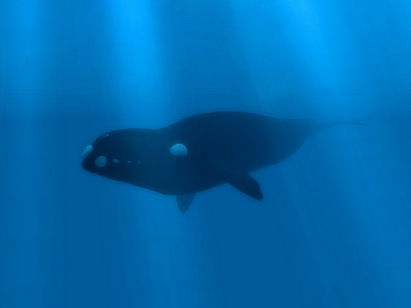 North Atlantic Right Whale by SamStudioDesign on DeviantArt