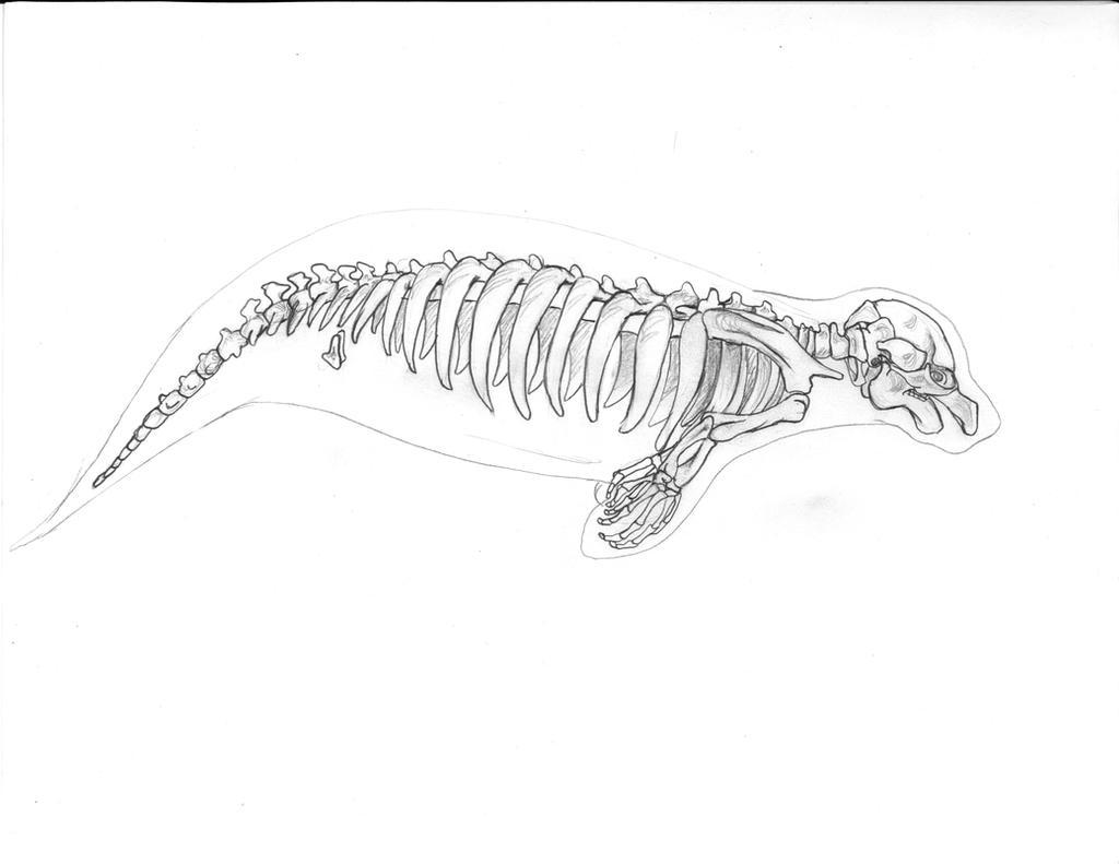 manatee skeleton by lacie lady lynx on deviantart