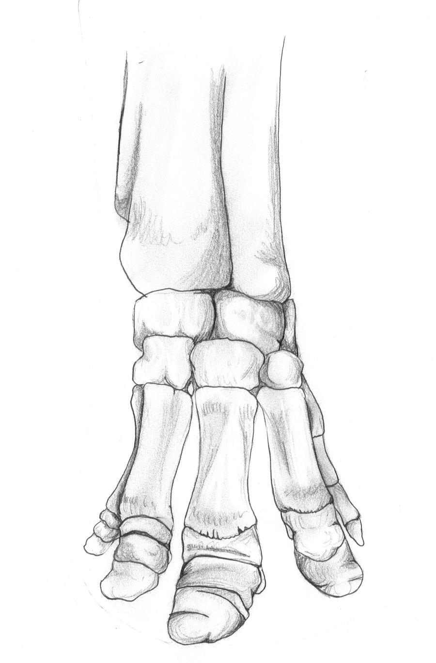 Elephant Foot Skeleton By Lacie Lady Lynx On Deviantart