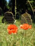 Two Poppy Flower, Two Gravestones