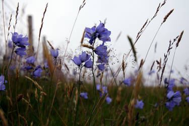 Highland Bluebell by JanKacar